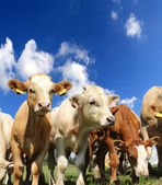 Young cows — Stock Photo