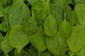 Super Food Spinach — Stock Photo