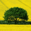 Green tree yellow field — Stock Photo