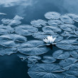 Water lilly — Stock Photo