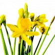 Daffodils — Stock Photo