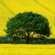 Tree and yellow rape seed oil field — Stock Photo