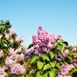 Lilac flowers — Stock Photo #6003084