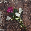Withered rose - Stock Photo