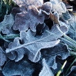 Frost on leaves — 图库照片