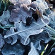 Stok fotoğraf: Frost on leaves