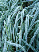 Frost on grass — Stock Photo