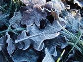 Frost on leaves — Stock Photo