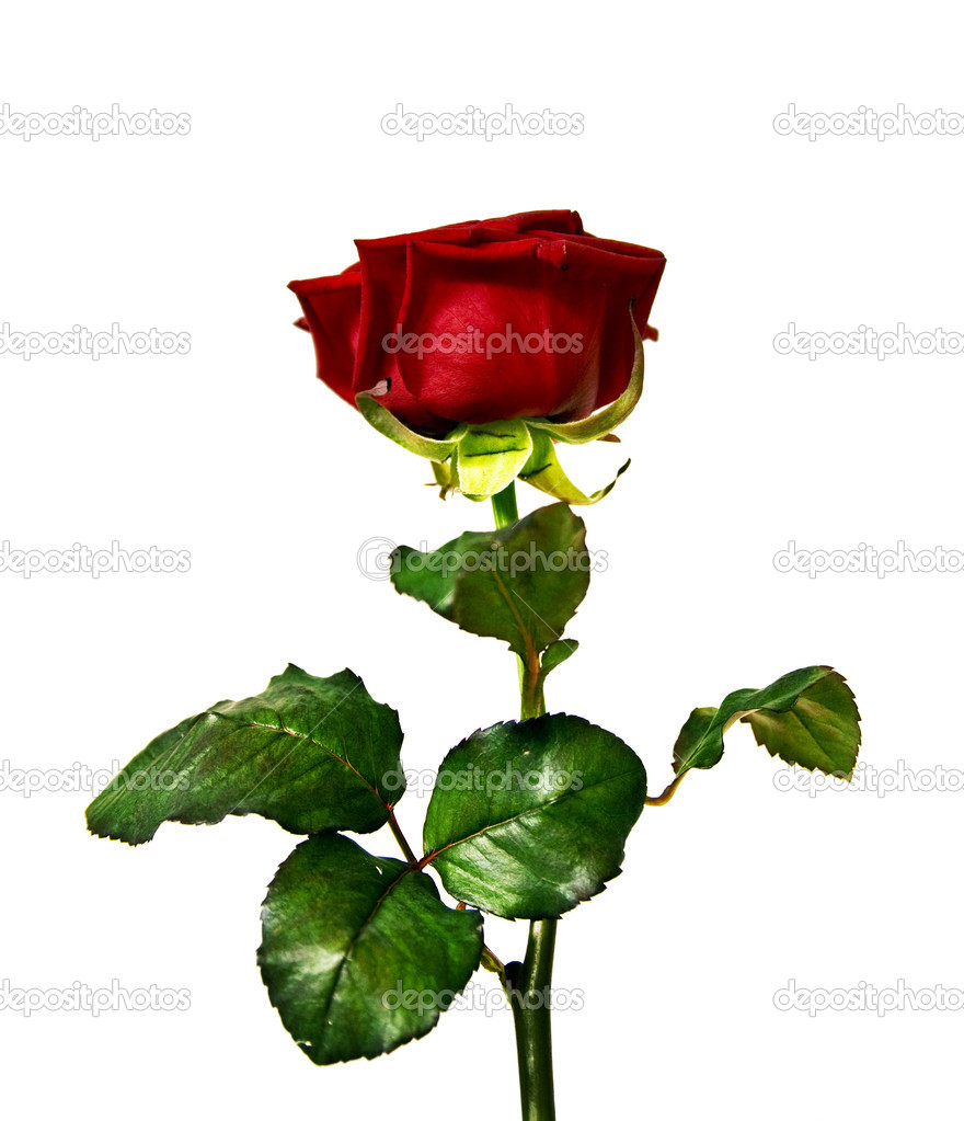 Red rose  Stock Photo #6002519