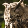 Eagle owl — Stock Photo #6028491