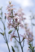 Mauve flower — Stock Photo