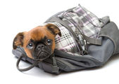 Funny puppy in a backpack — Stock Photo