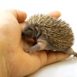 Small hedgehog on the hands — Stock Photo