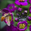 Стоковое фото: Hovering over Alyssum Flowers