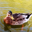 Stock Photo: Wild duck in water.