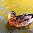 Wild duck in water. — Stock Photo #5987784