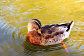 Wild duck in the water. — Stock Photo