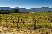 Vineyards in the foothills. — Stock Photo