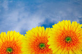 Yellow chrysanthemums. — Stock Photo