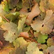 Stock Photo: Colourful autumnally wine leaves