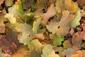 Colourful autumnally wine leaves — Stock Photo