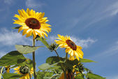 Two big sunflowers in front of blue sky — Stock Photo