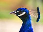Huvudet av en påfågel — Stockfoto