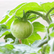 Stock Photo: Green tomato.