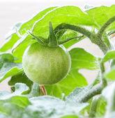 Green tomato. — Stock Photo