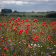 Stockfoto: Landscape with poppies.