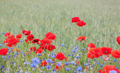 Landscape with poppies and cornflowers. — Stock Photo