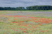 Landscape with poppies. — Foto Stock