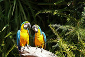 Couple of yellow chest Macaw — Stock Photo