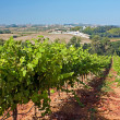 Stock Photo: Vineyard on west coast of Portugal