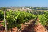 Vineyard on the west coast of Portugal — Stock Photo
