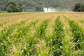 Corn field at summer — Stockfoto
