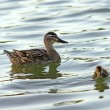 Female mallard duck and her funny child — Stock Photo #6058793