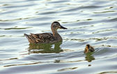 Female mallard duck and her funny child — Stock Photo