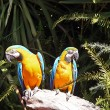 Chest yellow macaws - Stock Photo