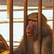 Stock Photo: Baboon sad