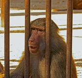 Traurig Pavian — Stockfoto