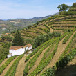 Royalty-Free Stock Photo: Douro vineyard