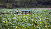 Barco lotus estanque púrpura bambú parque beijing china — Foto de Stock