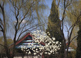 Magnolias Willows Spring Summer Palace Beijing China — Stock Photo