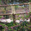 Stock Photo: Wooden Bridge Peach Blossoms Peasant Village, Chengdu Sichuan Ch