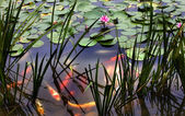 Orange White Carp Pink Water Lily Pond Chengdu Sichuan China — Stock Photo
