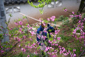 Chinese Peasant Carrying Pole Peach Orchard Sichuan China — Stock Photo