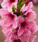 Pink Peach Blossoms Close Up Sichuan China — Stock Photo