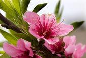Pink Peach Blossom Macro Close Up Sichuan China — Stock Photo