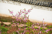 Pink peach blossoms kinesiska muren chengdu sichuan kina — Stockfoto
